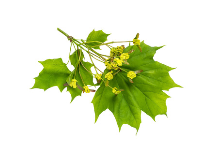 Maple branch (acer platanoides) with flowers on stage of ovary fruit isolated on white. Fruits being double samara with two winged seeds. Spring flowering plants Stock Photo