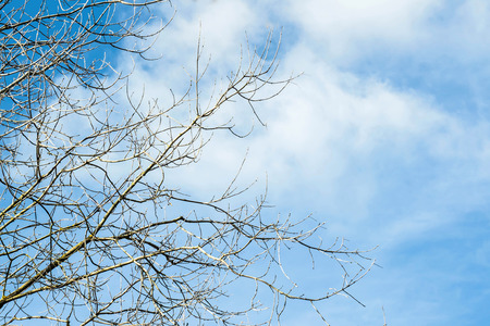 Naked poplar branches without leaves against blue sky with clouds on sunny day. Bright autumn background Stock Photo