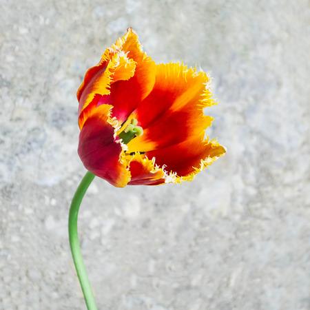 Large bright tulip in sunlight on background of asphalt. Close-up, minimal style Stock Photo