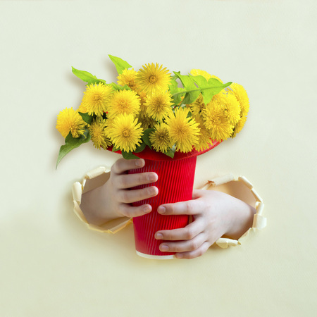 Hands hold large bouquet of dandelion in red paper cup through torn yellow paper. Minimal spring holiday concept