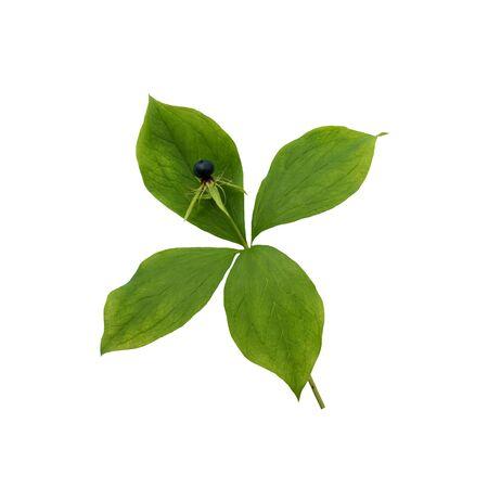 Paryska roślina quadrifolia na białym tle. Trujące jagody na czterolistku
