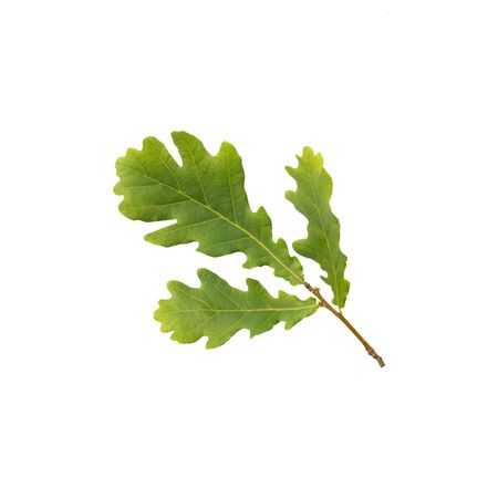 Branch of oak with leaves isolated on white. Medicinal plant oak (Quercus). In herbal medicine used the bark, leaves and acorns