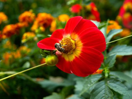 bee on the red yellow flower Stock Photo - 735385