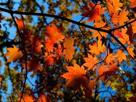 saturate: autumn maple leaves with blue sky