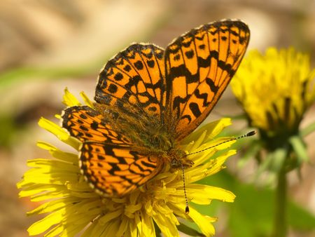 beautiful butterfly on yellow dandelion