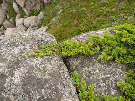elfin: green elfin wood creeping on rock