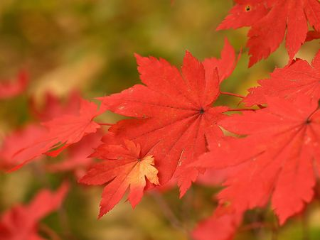 autumn maple leaves macro photo
