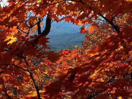 autumn landscape through maple leaves  photo