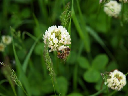 bee on the white clover flower Stock Photo - 865929