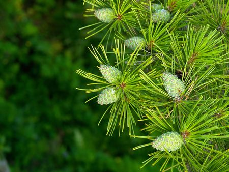 pine branch with cones         photo