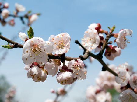 blooming branch of cherry