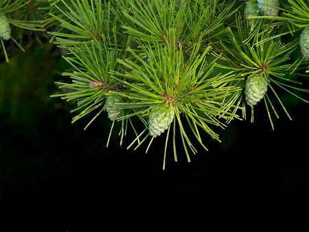 spruce branch on the dark         Stock Photo