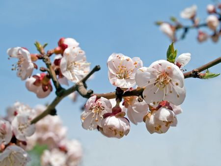 spring blooming sakura cherry flowers branch