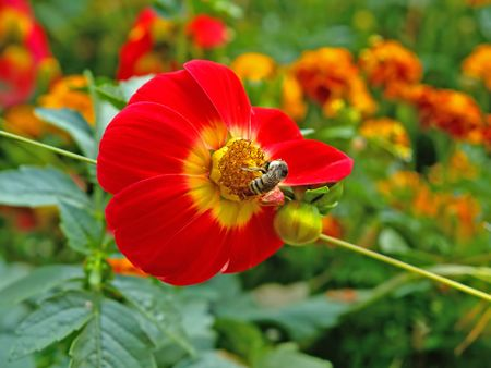 bee on the red flower in the ornamental garden     Stock Photo - 3090895
