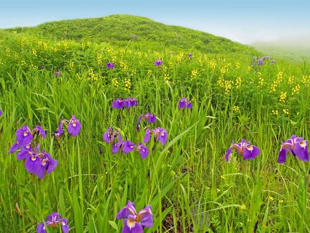 fine rural spring meadow landscape with violet flowers on foggy day photo