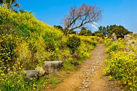 Springtime view with rape flowers blossom at Jeju island Korea