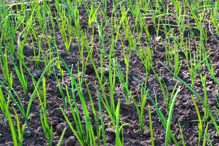 field of sprout spring garden plants onion floral background Stock Photo