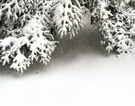 fresh snow: snow fir tree branches under snowfall. framework for text