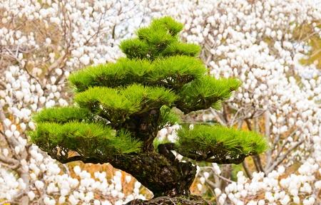 bonsai tree on white magnolia background at Hallim Park of Jeju island Korea photo