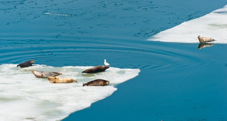 Larga Seals resting on floating ice near the russian Vladivostok photo