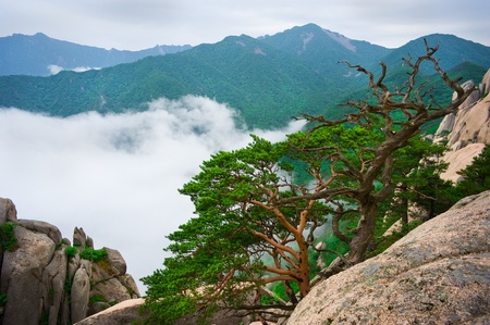 Korean pines against cloudy seorak mountains at the Seorak-san National Park, South korea  Stock Photo