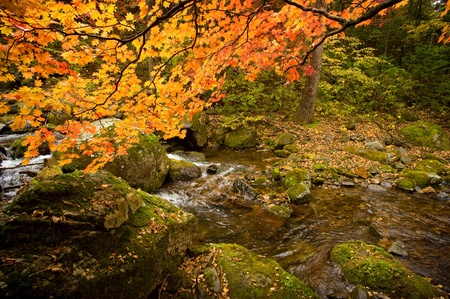 fall forest stream Elomovsky with red maple trees in russian Primorye  photo