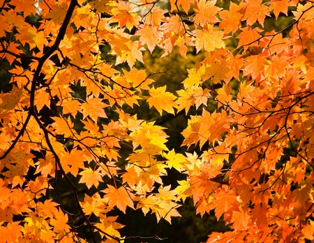 red yellow fall maple leafs illuminated by sun natural background