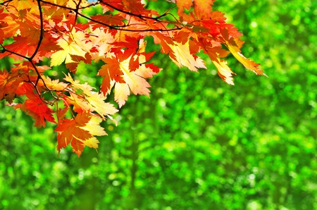 autumn scene: red yellow fall maple leafs illuminated by sun natural background