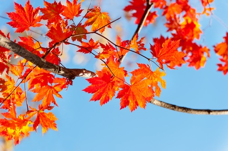 red yellow fall maple leafs illuminated by sun natural background  photo