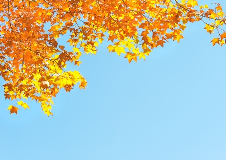 red yellow fall maple leafs illuminated by sun natural background Stock Photo - 10860911