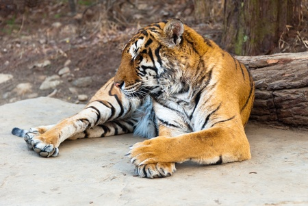 Rare Siberian ussur Amur tiger Seoul grand park zoo  photo