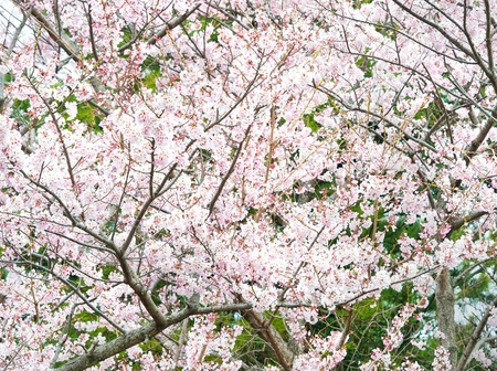 Sakura flowers garden at Jeju-do Korea photo