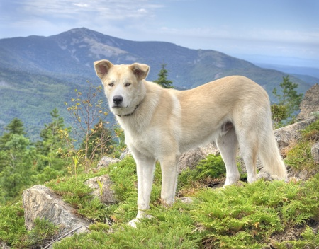 Alaskan Malamute Dog at the russian primorye mountains  photo