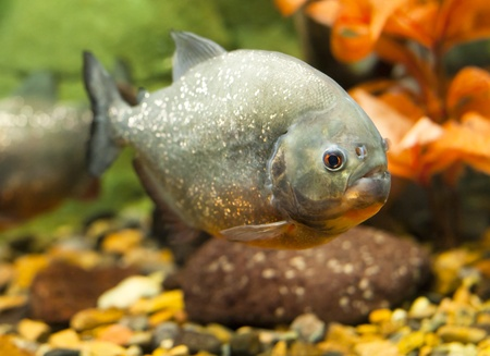 tropical piranha fish in natural environment  photo