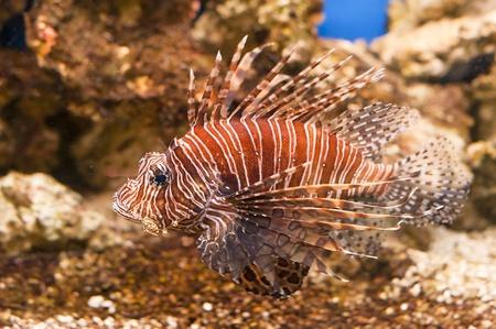 volitans: tropical fish red Lionfish - Pterois Volitans