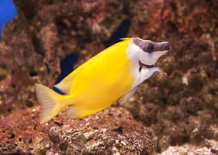 siganus: tropical reef fish Foxface Lo tabbitfish, Siganus vulpinus  Stock Photo
