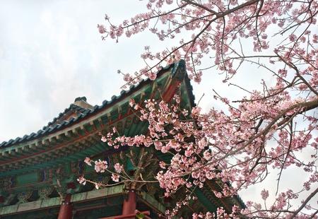 buddhist temple at Jeju Korea with sakura cherry blossoms photo