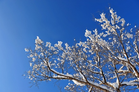 winter snow branches of tree on a blue sky background  photo