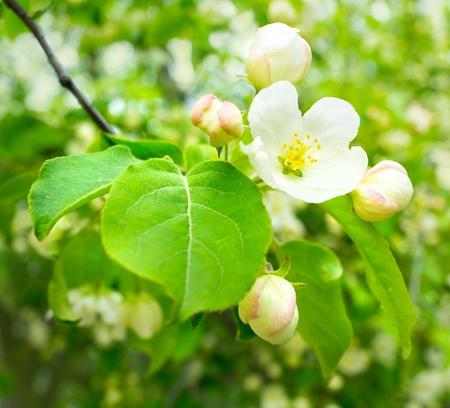 spring apple flowers photo