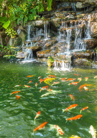 botanical garden: koi carp fishes in the pond of Phuket Botanical Garden at Phuket island Thailand
