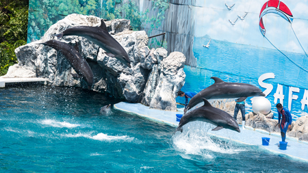 bottlenose: BANGKOK - March 31: Instructors perform with Dolphins at show, Safari world on March 31, 2015 in Bangkok, Thailand.