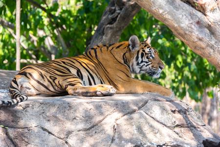 Siberian tiger at Safari World, Bangkok Thailand Stock Photo
