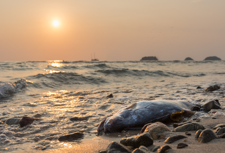 dead fish: dead fish against sunset at the coast of Koh Chang island, Thailand