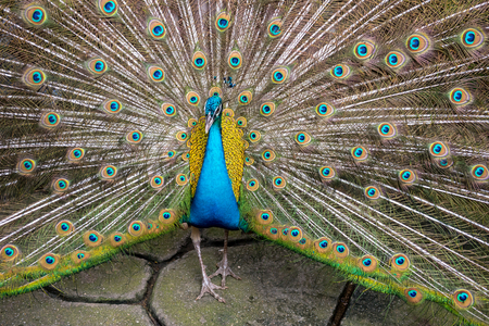 Colorful Blue Ribbon Peacock in full feather at the thailand zoo