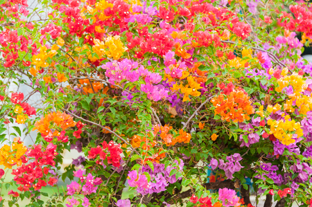 Beautiful flowers tree in thailand Stock Photo