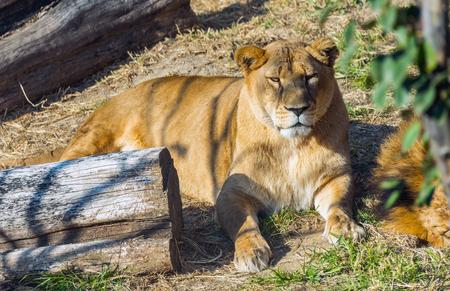 Resting lion in Bangkok Thailand