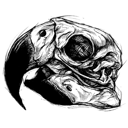 Macaw Skull Drawing line work