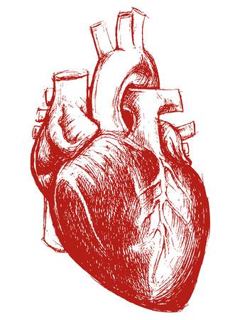 anatomia: Corazón Humano trabajo de línea de dibujo