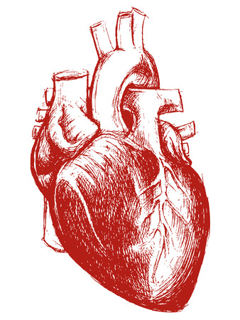 romantic heart: Human Heart Drawing line work