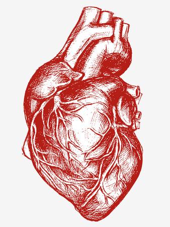 human heart: Corazón Humano trabajo de línea de dibujo